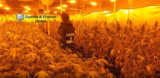 La GdF di Varese scopre due maxi serre di marijuana: sequestrati oltre 1.700 piante e 40 chili di infiorescenze