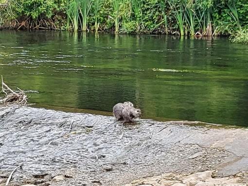 Le due nutrie sul fiume Bardello a Besozzo