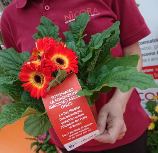 La gerbera solidale: la pianta a sostegno della Fondazione Ascoli