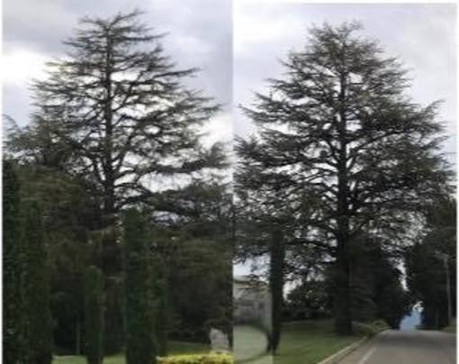 Morazzone, l'albero di cedro del cimitero verrà abbattuto