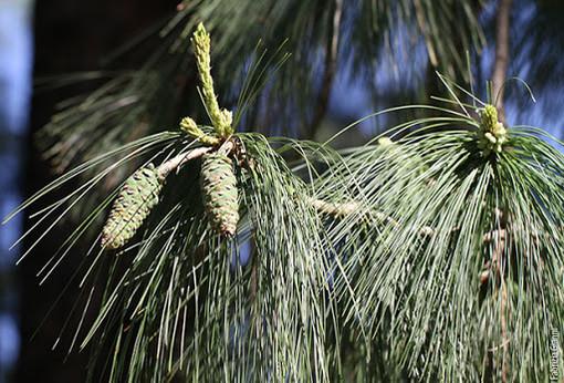 Vergiate: saranno abbattuti sabato i tre pini pericolanti del parco del minigolf