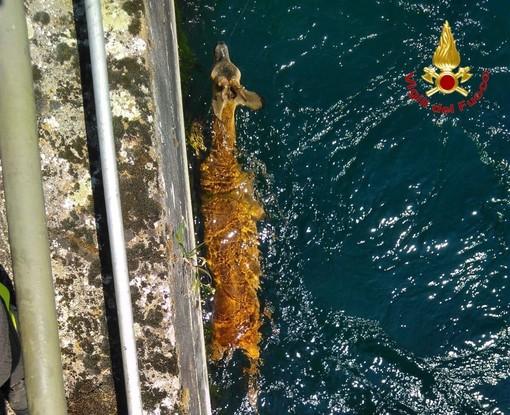 FOTO. Capriolo cade nel canale: salvato dai vigili del fuoco