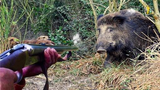 Cinghiali, due incidenti al giorno in Lombardia. Coldiretti: «La carne degli animali abbattuti è un'opportunità»