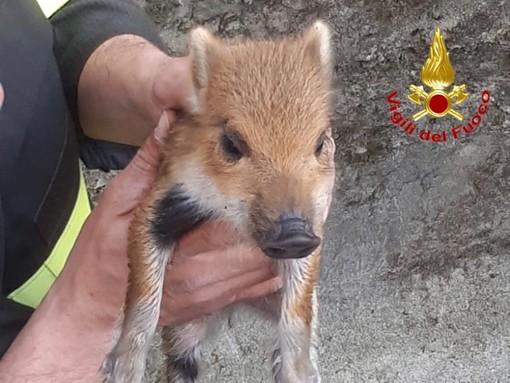 Maccagno, sei cuccioli di cinghiale bloccati in un canale: salvati dai vigili del fuoco