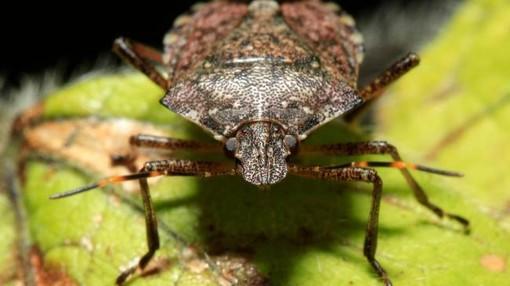 Ecco i danni della cimice asiatica: in Valtellina sta distruggendo il raccolto delle mele
