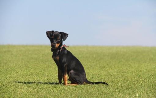 Jago, il cane conteso. Ma ora resterà con il suo nuovo padrone a Jerago