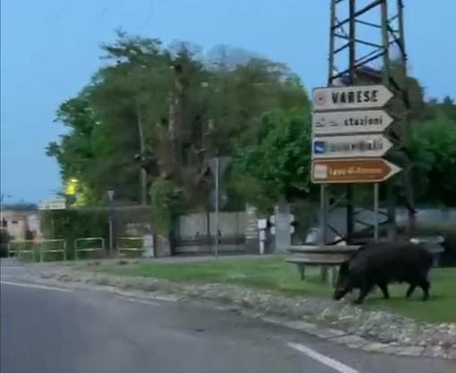 VIDEO. Cinghiali sempre più presenti in città, un altro esemplare ripreso davanti all'Esselunga