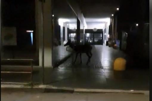 VIDEO. Varese, un cervo a spasso sotto i portici dell'ex Upim in viale Milano
