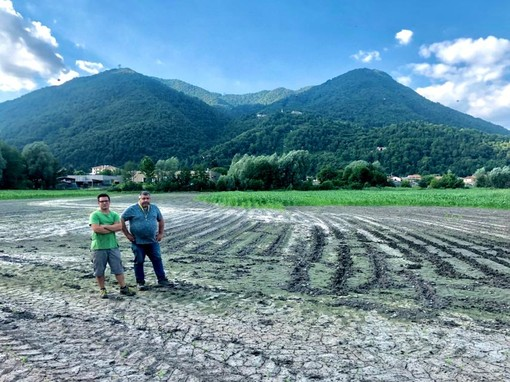 Allarme cinghiali, varesotto sotto assedio: «In Valcuvia campi riseminati e distrutti tre volte»