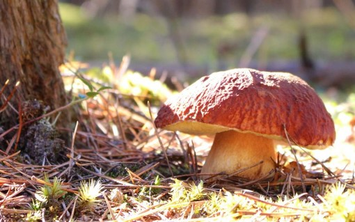 Partita la stagione dei funghi, secondo Coldiretti in Lombardia sarà un'annata ricca