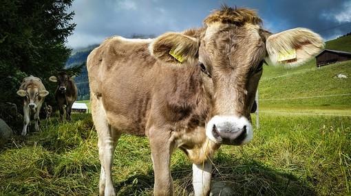 Maltempo, alpeggi isolati nel Lecchese: allevatori bloccati con i loro animali