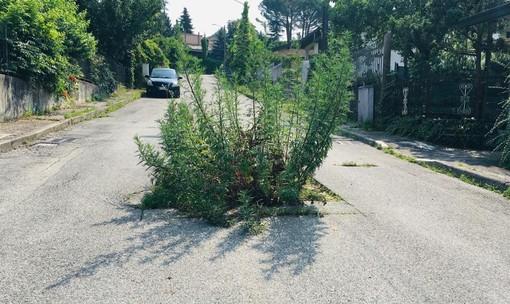 Varese, incredibile in via Govi: in mezzo alla strada sta spuntando una pianta