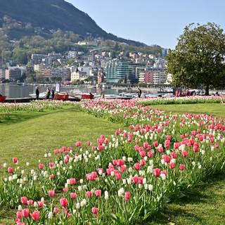 """Aderendo a """"1 Tulipano per la Vita"""", Lugano rende omaggio alle donne vittime di tumore al seno"""