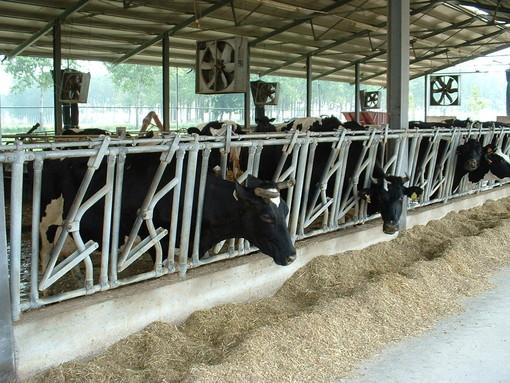 Afa nel Varesotto, mucche stressate: nelle stalle arrivano i ventilatori